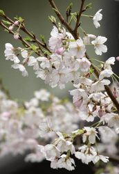 東京・銀座のJパワー本店で開花した「荘川桜2世」