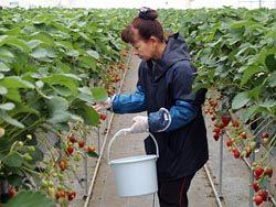 農園のいちごハウス。「紅ほっぺ」など4種が栽培されている