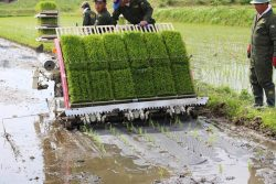 田んぼに雑草よけの黒い紙を敷き詰め田植えを行う。それでも無農薬栽培の草取りは重労働だ