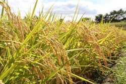 実りの季節を迎えた天栄米の稲穂